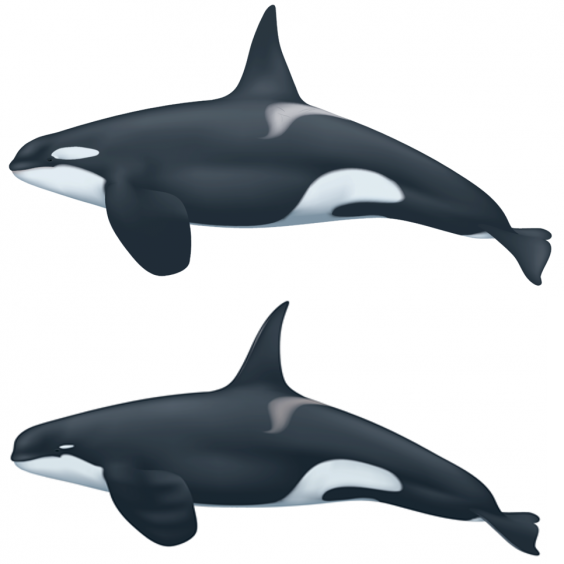 An adult male 'regular' killer whale, top, and adult male Type D killer whale, bottom, with a smaller eye patch, more rounded head, and more narrow and pointed dorsal fin. (Uko Gorter/National Oceanic and Atmospheric Administration)