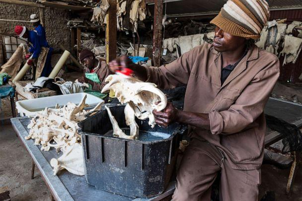 PHOTO: A worker cleans lion bones with a combination of water and peroxide at a taxidermist in the Orange Free State, South Africa on Oct. 10, 2012. (Brent Stirton/Getty Images, FILE)