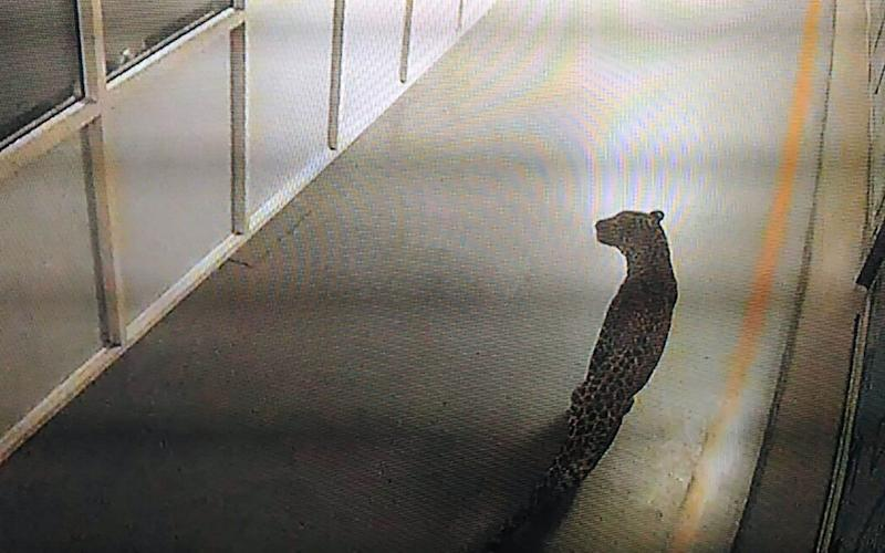 This chilling photograph, a still from CCTV footage, shows the leopard ambling around the facility - AFP