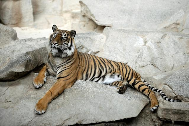 According to a survey, poaching for trade is responsible for almost 80% of estimated Sumatran tiger deaths.