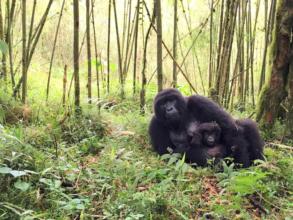 "If you want to come face to face with the largest living primates—and one of our closest relatives—a gorilla trek in <a href=""https://www.cntraveler.com/story/5-reasons-to-visit-rwanda-right-now?mbid=synd_yahoo_rss"" rel=""nofollow noopener"" target=""_blank"" data-ylk=""slk:Rwanda"" class=""link rapid-noclick-resp"">Rwanda</a> must be on your list. It'll take at least a few months of planning to execute the bare bones of this trip, from securing required gorilla trekking permits to getting a reservation at the best lodges like <a href=""https://www.cntraveler.com/hotels/volcanoes-national-park/bisate-lodge?mbid=synd_yahoo_rss"" rel=""nofollow noopener"" target=""_blank"" data-ylk=""slk:Wilderness Safaris Bisate Lodge"" class=""link rapid-noclick-resp"">Wilderness Safaris Bisate Lodge</a>. But be ready for competition: There's always high demand to visit during the dry seasons from mid-December to early February, and June to September, when hiking conditions are best and malaria risk lowest."