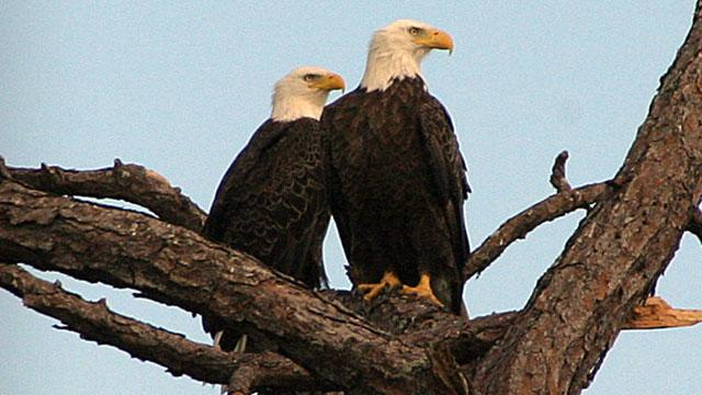 Bald Eagles Become Internet Stars