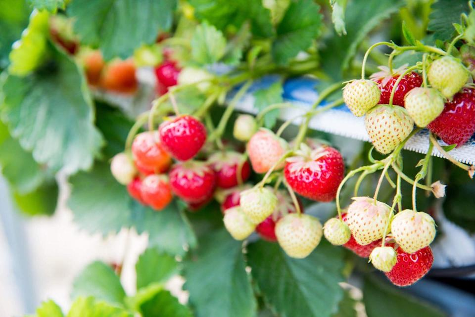 Green, unripe strawberries hang on the vine with red strawberries.