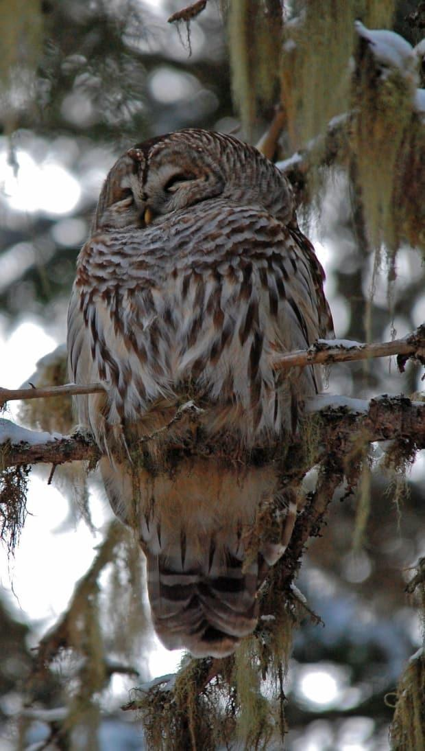 Owl surveys are done in the Portage Lakes area each spring, said O'Connell. This barred owl was photographed in December about 50 metres away from the site of the two large trees.