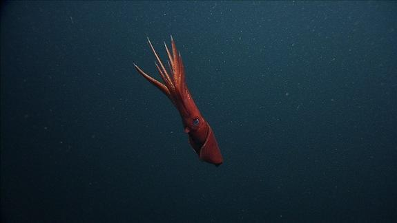 Deep-Sea Squid Ditches Wriggling Arms to Escape Predators