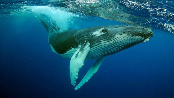 PHOTO: A Humpback Whale in an undated photo. (Kate Westaway/Getty Images)