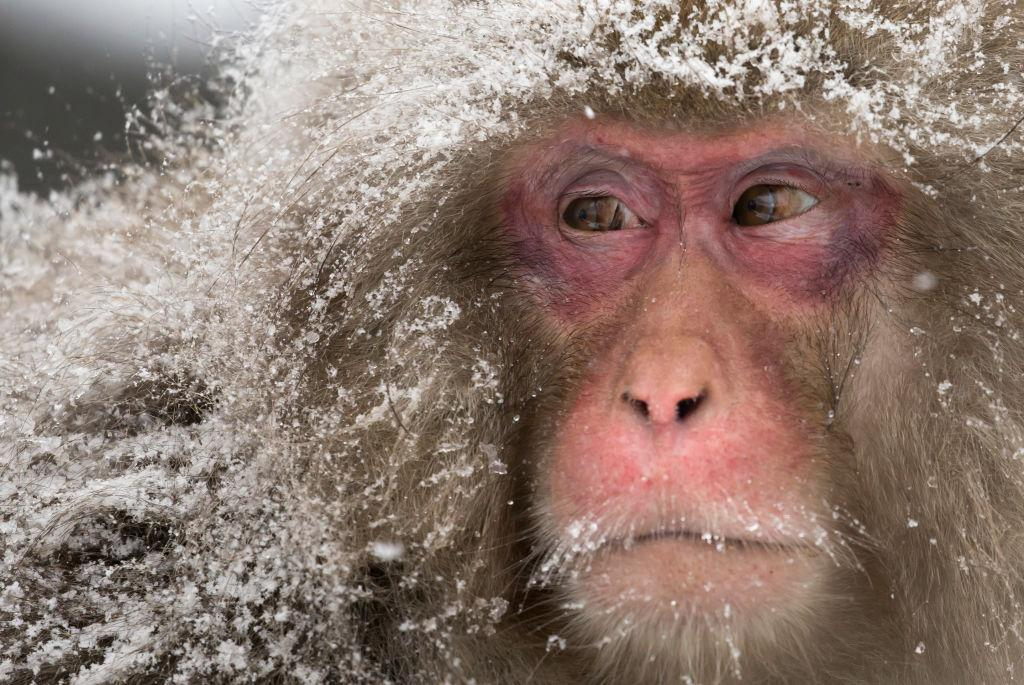 <p>Snow falls as a Macaque monkey stands at the Jigokudani Yaen-koen wild Macaque monkey park in Yamanouchi, Japan. The wild Japanese macaques are known as snow monkeys, according to the park's official website. (Tomohiro Ohsumi/Getty Images) </p>