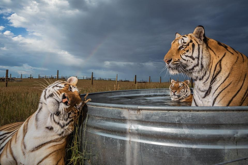 Clay, Daniel, and Enzo, three of 39 tigers rescued from an animal park in Oklahoma, gather at a pool at the Wild Animal Sanctuary in Keenesburg, Colorado. They will live out their lives here, with proper nutrition and vet care. (National Geographic/Steve Winter)
