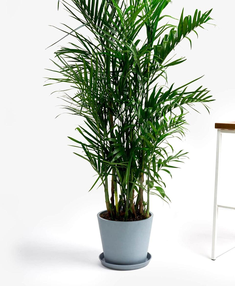 "<p>For a burst of greenery, get this <a href=""https://www.popsugar.com/buy/Potted-Bamboo-Palm-Indoor-Plant-568588?p_name=Potted%20Bamboo%20Palm%20Indoor%20Plant&retailer=bloomscape.com&pid=568588&price=195&evar1=casa%3Aus&evar9=47423087&evar98=https%3A%2F%2Fwww.popsugar.com%2Fphoto-gallery%2F47423087%2Fimage%2F47423332%2FPotted-Bamboo-Palm-Indoor-Plant&list1=shopping%2Chouse%20plants%2Cplants%2Chome%20decorating%2Cdecor%20shopping%2Cbloomscape&prop13=api&pdata=1"" class=""link rapid-noclick-resp"" rel=""nofollow noopener"" target=""_blank"" data-ylk=""slk:Potted Bamboo Palm Indoor Plant"">Potted Bamboo Palm Indoor Plant</a> ($195).</p>"