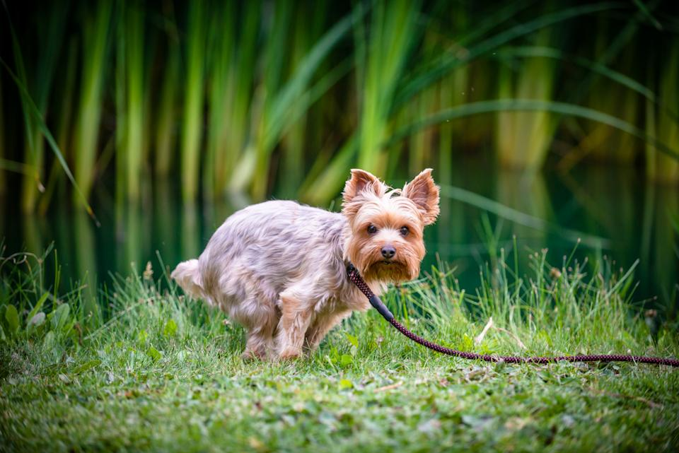 A yorkie relieving himself on a park.