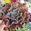 <p>The <span>Echeveria Crimson Tide</span> ($34) is a succulent, and as most succulents do, it loves sunlight. </p>