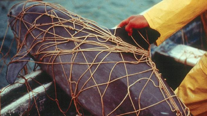 An undated handout photo issued by University of St Andrews of a dead vaquita porpoise entangled in a gillnet set for a totoaba