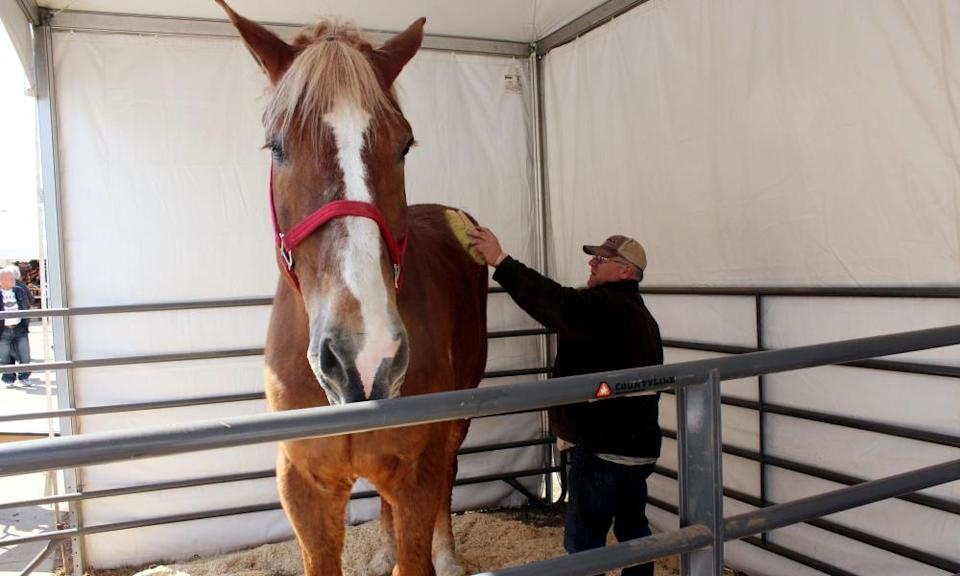 Jerry Gilbert brushing Big Jake at the Midwest Horse Fair in Madison, Wisconsin in 2014.