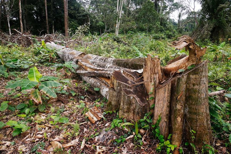A felled tree on a cocoa farm in Alepe, Ivory Coast. Cocoa farms usually require the removal of shade trees, since cocoa trees need full sun, driving deforestation. (Photo: Thierry Gouegnon for HuffPost)