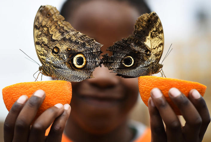 <p>Bjorn, aged 5, smiles as he poses with a Owl butterfly during an event to launch the Sensational Butterflies exhibition at the Natural History Museum in London, Britain March 23, 2016. (REUTERS/Dylan Martinez) </p>