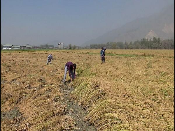 Farmers harvest paddy crops in Jammu and Kashmir. (Photo/ANI)