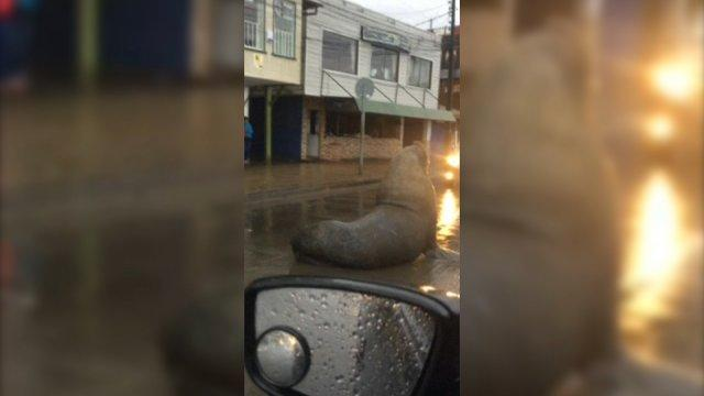 massive-sea-lion-casually-blocks-traffic-in-middle-of-chilean-town