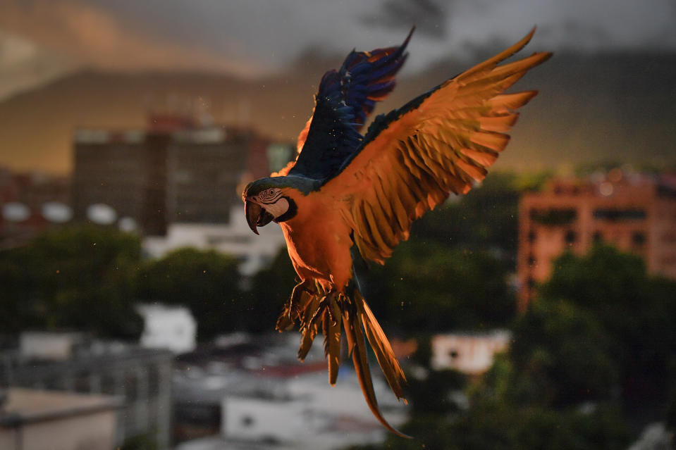 A macaw flies down as it looks to land on an antenna for food, in Caracas, Venezuela, Saturday, Sept. 5, 2020, amid the new coronavirus pandemic. Caracas' signature bird, the blue-and-yellow macaw, is one of four such species that inhabit the valley. Legend has it that it was introduced in the 1970s by Italian immigrant Vittorio Poggi, who says he nurtured a lost macaw and trained it to fly with his motorcycle as he cruised around his neighborhood. (AP Photo/Matias Delacroix)