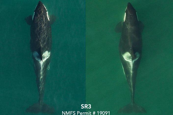 Drone photos showing images of another Killer Whale under study by SR3 researchers: SR3 / NOAA's / SEA