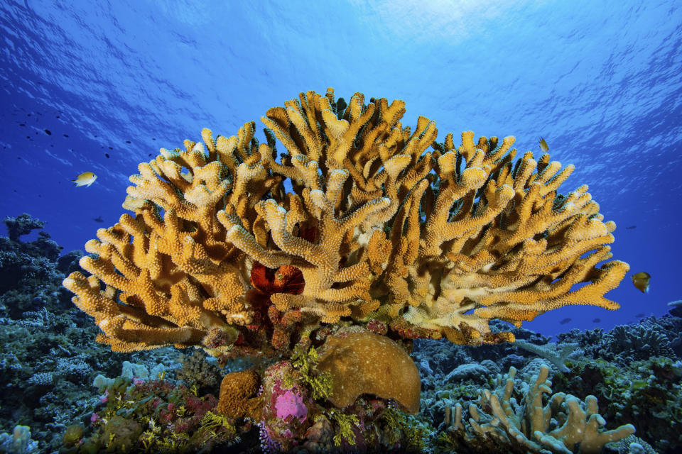 In this August 2018 photo provided by the Allen Coral Atlas, fish swim on a reef at Rongelap Atoll in the Marshall Islands. Researchers have completed a comprehensive online map of the world's coral reefs by using more than 2 million satellite images from across the globe. The Allen Coral Atlas was named after late Microsoft co-founder Paul Allen and will act as a reference for reef conservation, marine planning and coral science as researchers try to save these fragile ecosystems that are being lost to climate change. (Greg Asner/Allen Coral Atlas via AP)