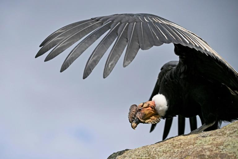 The Andean condor is one of the largest birds of prey in the world