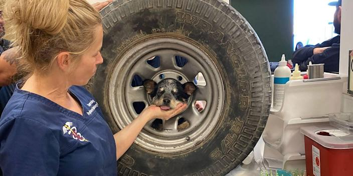 An Australian cattle dog got her head stuck inside a spare tire. She couldn't get out until local firefighters rescued her.