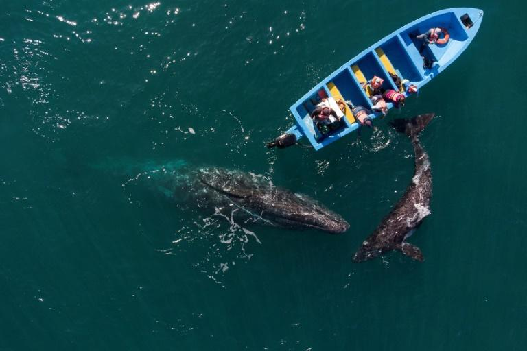 The lagoons of Mexico's Baja California are one of the best places in the world to see gray whales