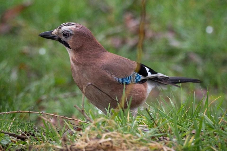 Colourful: the jay is one of the brightest native birds but its feathers are hidden (Handout)