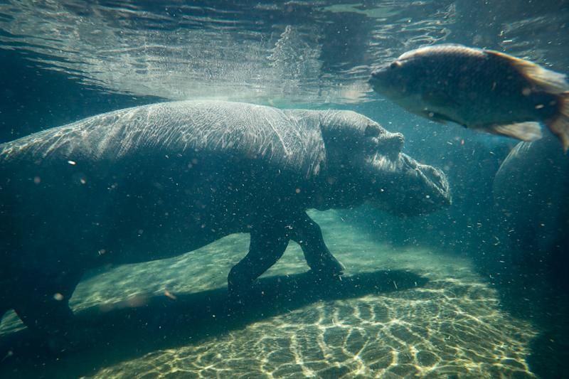 Fiona's mother Bibi when she was pregnant - Credit: AP Photo/John Minchillo