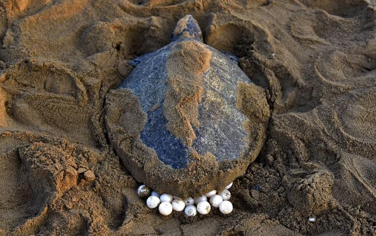 <p>An Olive Ridley Turtle (Lepidochelys olivacea) lays her eggs in the sand at Rushikulya Beach, some 140 kilometres (88 miles) south-west of Bhubaneswar, early February 16, 2017.<br /> Thousands of Olive Ridley sea turtles started to come ashore in the last few days from the Bay of Bengal to lay their eggs on the beach, which is one of the three mass nesting sites in the Indian coastal state of Orissa. / AFP PHOTO / ASIT KUMAR </p>