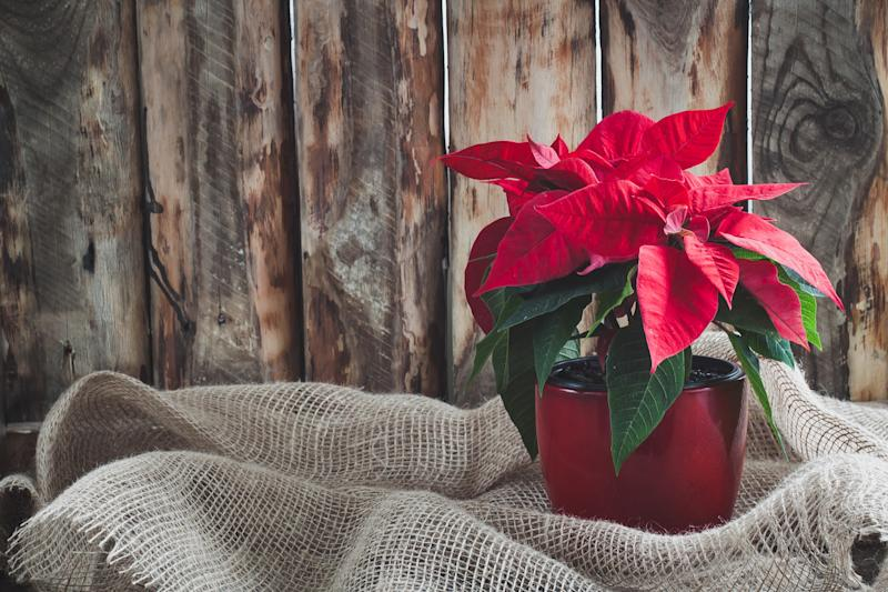 Christmas Poinsettia isolated on the vintage wooden background. Toned image.