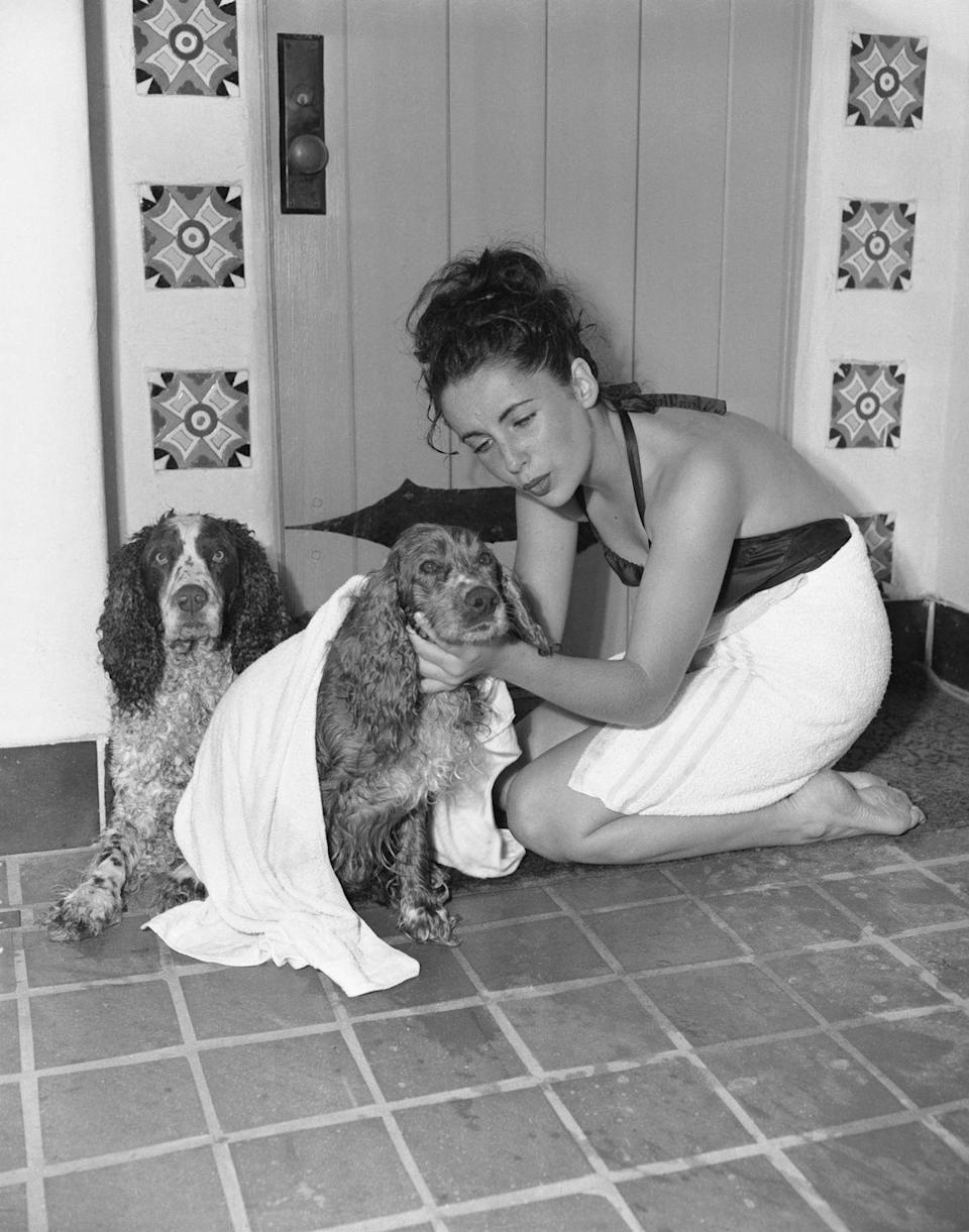 <p>Throughout her career, animal lover Elizabeth Taylor had been constantly surrounded by pets. In 1940, on one of her few days off from filming, she gave her Cocker Spaniels a bath. Here, the actress attends to Amy, who she named after her character in<em> Little Women</em>. </p>