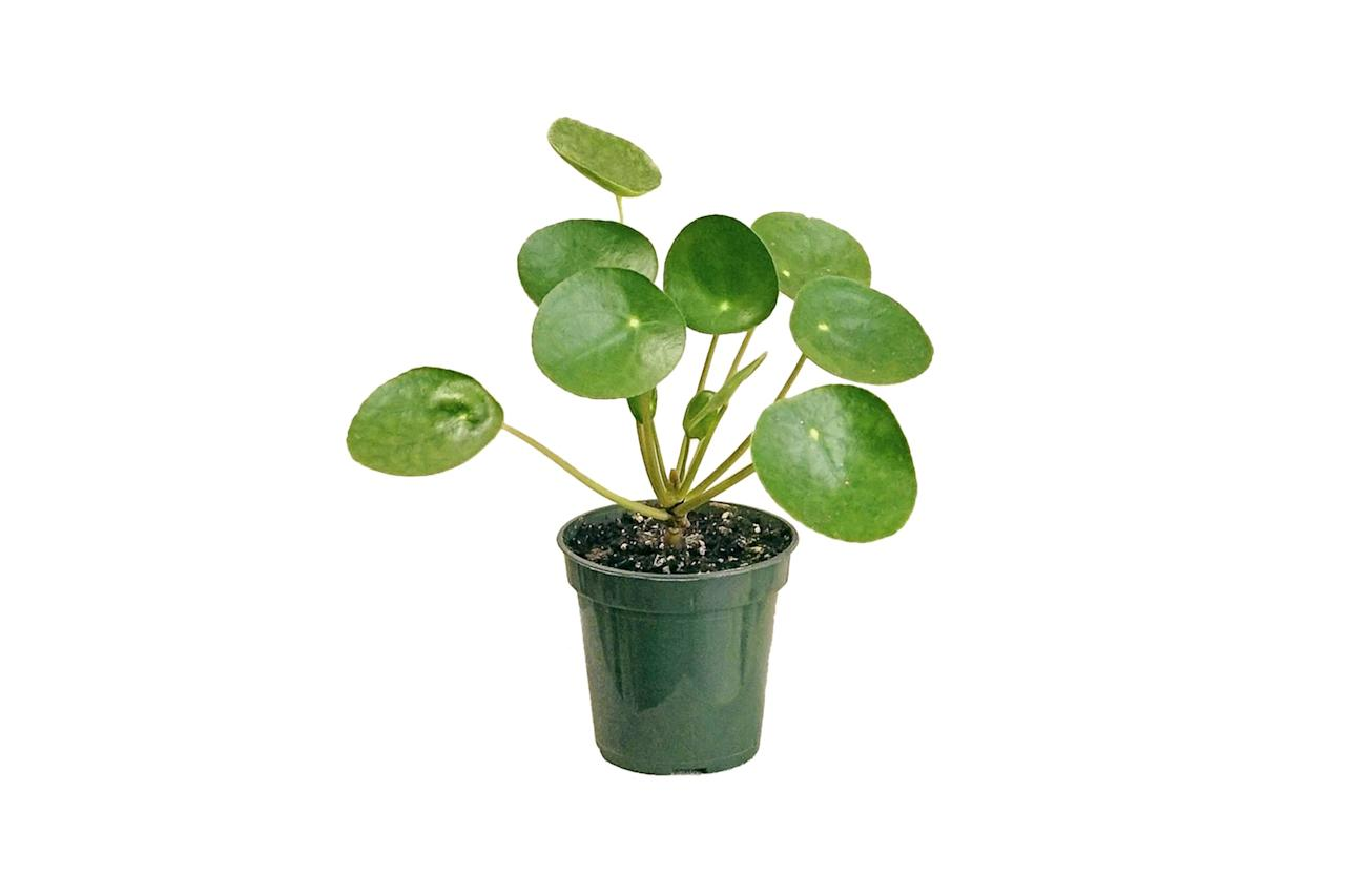 "$15, Rooted. <a href=""https://rooted.nyc/collections/plants/products/chinese-money-plant?variant=14291590053937"">Get it now!</a>"