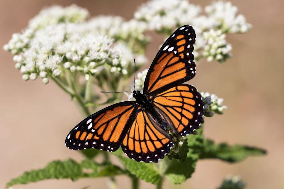 <p><strong>Viceroy Butterfly </strong></p><p>If you're looking and thinking, hey, that looks like a monarch, you aren't wrong. Kentucky's state butterfly (the honey bee is its state insect) is <em>very</em> similar to the monarch, but slightly smaller. <br></p>