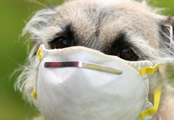 Canines can detect subtle changes in skin temperature, potentially making them useful in determining if a person has a fever (AFP Photo/Chris DELMAS)