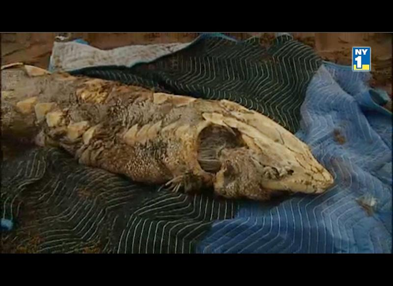 """This Atlantic sturgeon corpse measuring more than 6 feet long was pulled from the East River in New York City near Pier 17 on May 21, 2011. <a href=""""http://www.ny1.com/content/139542/mystery-east-river-fish-identified-as-sturgeon"""" target=""""_hplink"""">Watch video here.</a>"""