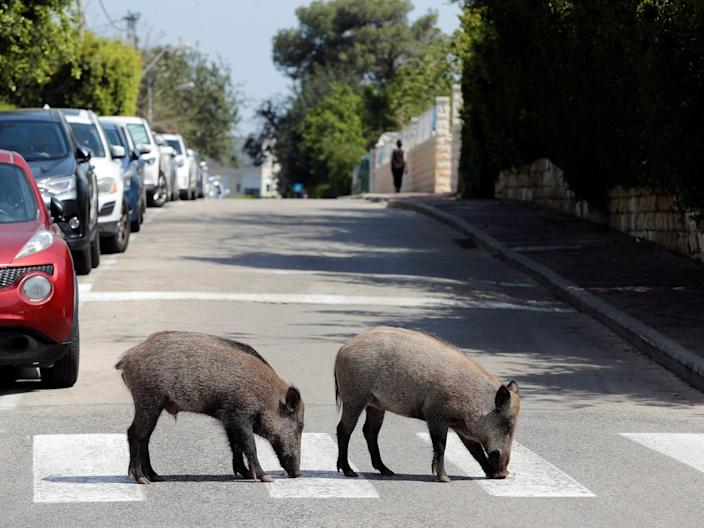 Wild boars cross a road in a residential area in Haifa, northern Israel, on April 16, 2020.
