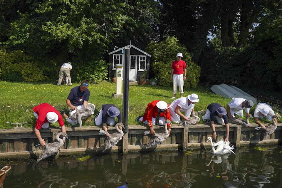 The Queen's swan marker, David Barber, kneeling centre, is joined by Swan Uppers to inspect swans (Steve Parsons/PA) (PA Wire)