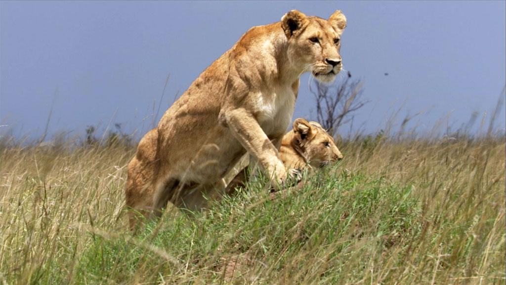 Masai Mara, Kenya - Lioness Nyota stands poised on a mound, with lion cub Moja in the background.