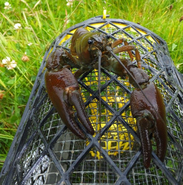 A large crayfish sits atop a black trap, similar to a lobster pot.