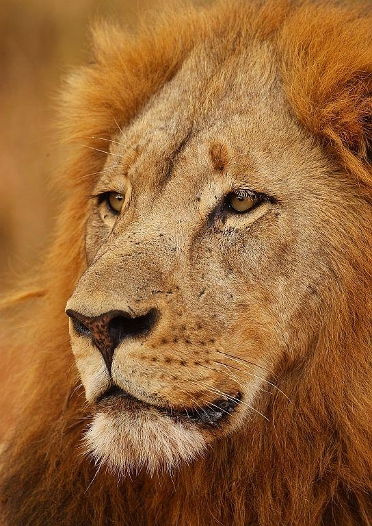 A lion relaxes on the banks of the Luvuvhu River at the Pafuri game reserve in Kruger National Park, South Africa.