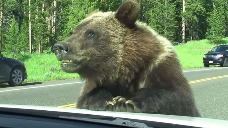 Grizzly Bear Can't Tear Itself Away From Montana Family's Car