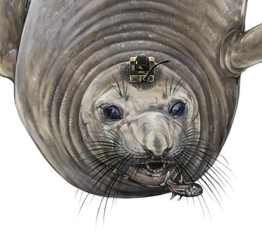 A female northern elephant seals equipped with bio-logging electronic tags to track its deep-ocean foraging behavior