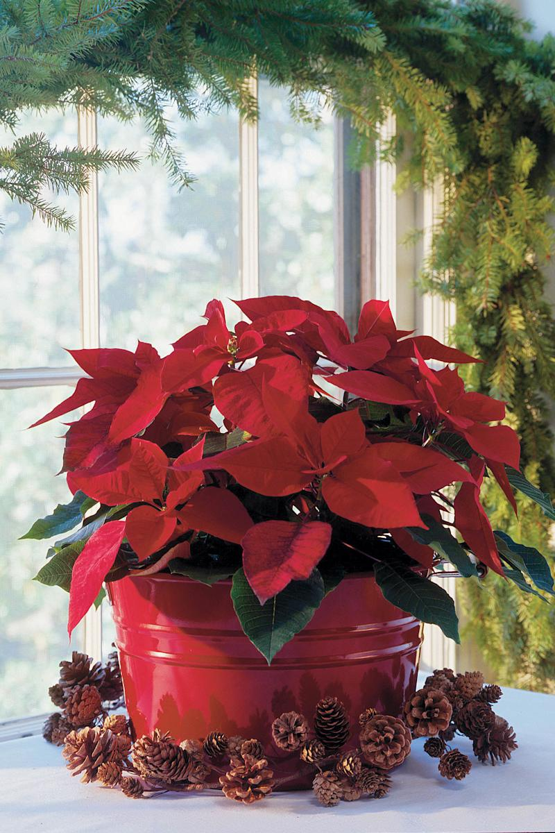 How To Care For Poinsettias This Christmas