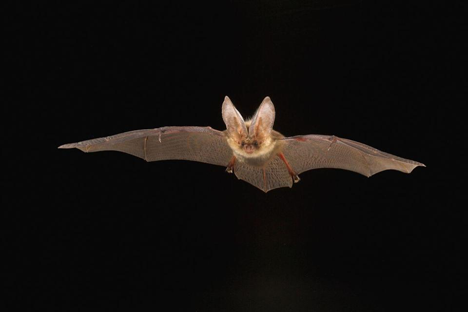 <p><strong>Northern Long-Eared Bat - </strong>White-nose syndrome has driven the Northern Long-Eared Bat population down by almost 99% since 2015.</p>