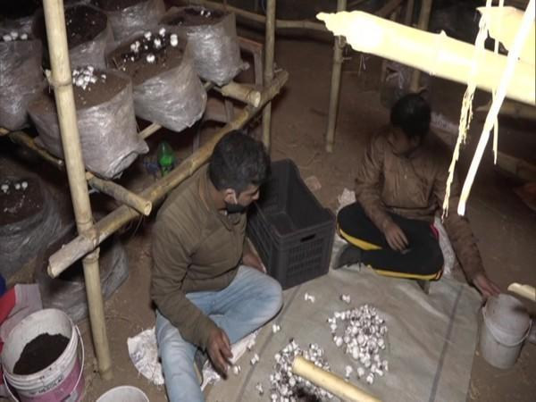 Two workers harvesting the mushrooms. (Photo/ANI)