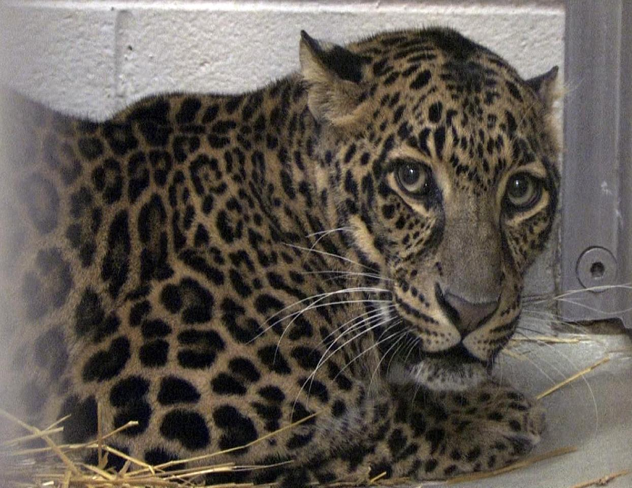 This photo provided by the Columbus Zoo and Aquarium shows one of three leopards that were captured by authorities Wednesday, a day after their owner released dozens of wild animals and then killed himself near Zanesville, Ohio. Sheriff's deputies shot and killed 48 of the animals, including 18 rare Bengal tigers, 17 lions, six black bears, two grizzly bears, a baboon, a wolf and three mountain lions. Six of the released animals - three leopards, a bear and two monkeys - were captured and taken to the Columbus Zoo. (AP Photo/Columbus Zoo and Aquarium, Grahm S. Jones)
