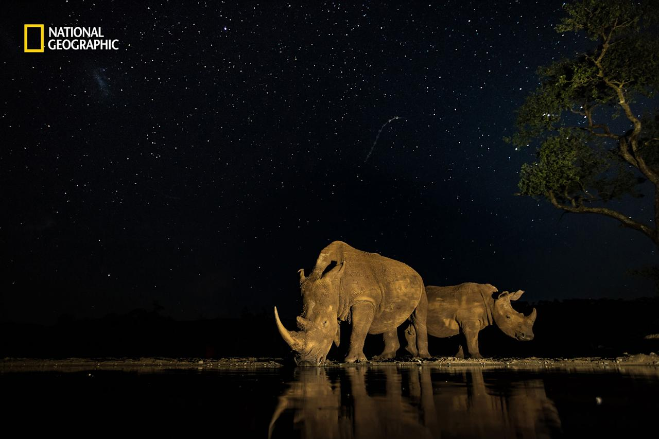 <p>Photo and Caption by Alison Langevad/2016 National Geographic Nature Photographer of the Year. — Two very precious endangered beasts gracing me with their presence under the stars in South Africa. So many of these rhino are now being dehorned to save them from poachers that this photographic moment is even more precious to me. A long exposure for the stars while light painting the rhino as they drank makes for an amazing moment captured </p>