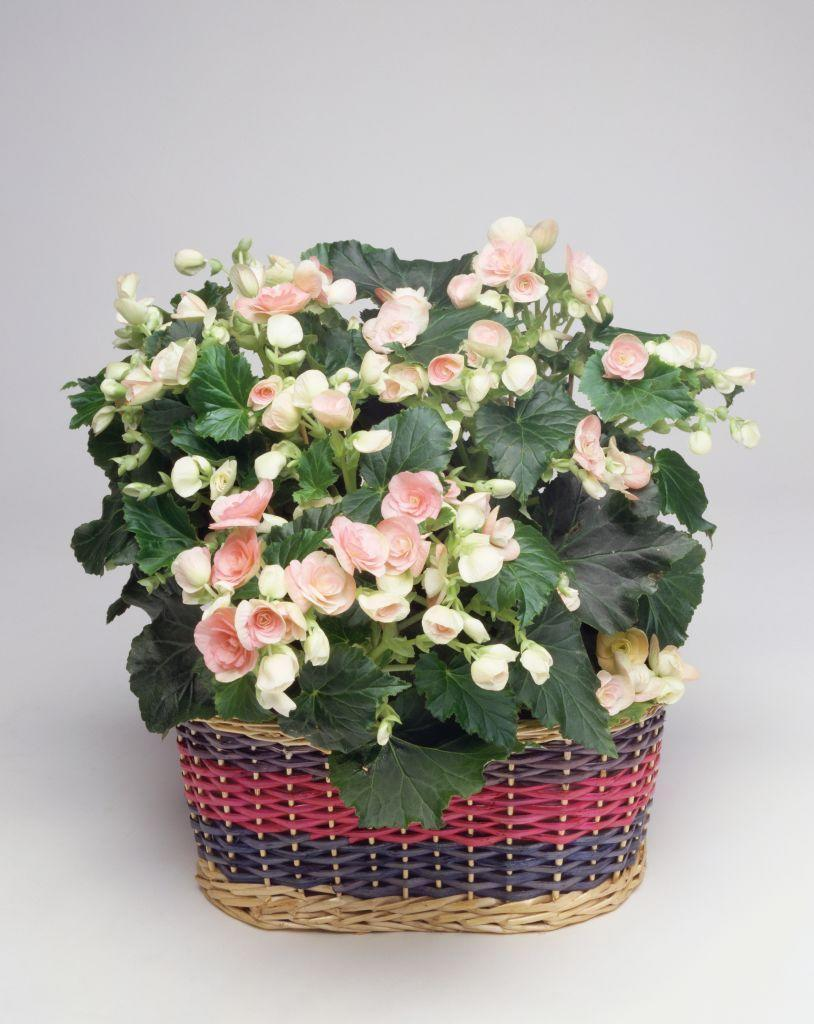 <p>Feburary is also a great time to grow begonias from seed inside. One way to faciliate germination: use a heat mat underneath your plants to keep the soil warm. Do not transplant your begonias outside until after all threat of frost has passed. </p>