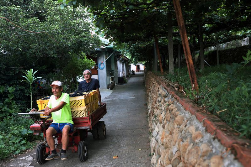 Hung Chi-pei, 72, the owner of the grape farm transport the harvest grapes with Chen Chien Hao at the back of the cart at Shu Sheng Leisure Domaine in Taichung,